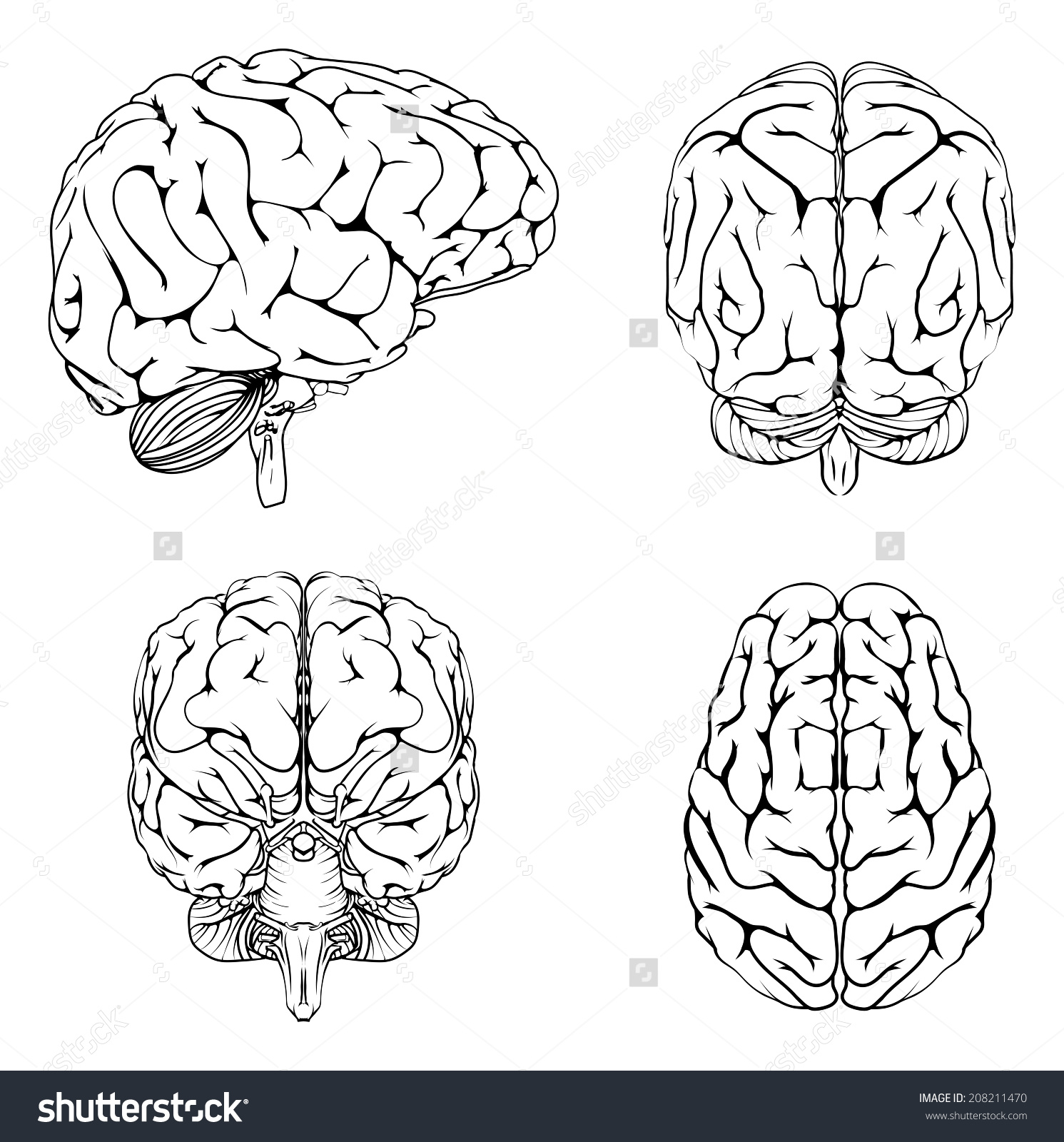 Blank human brain outline
