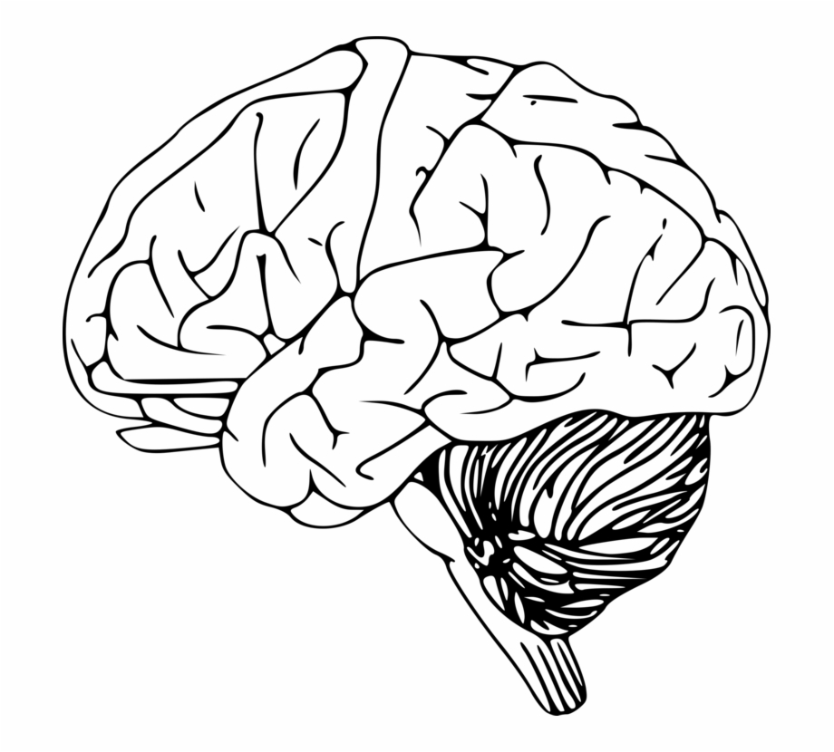 Outline Of The Human Brain Drawing Human Head.