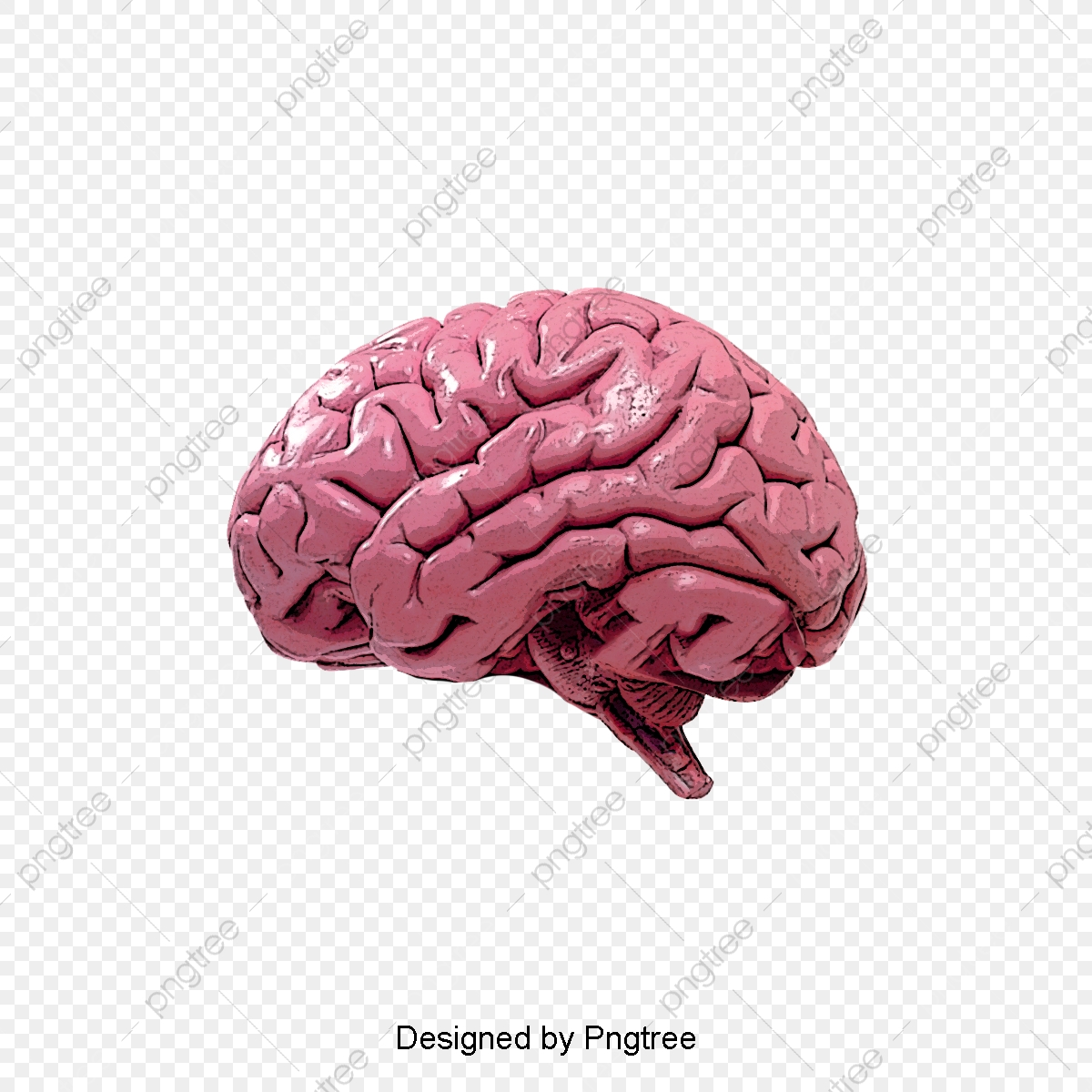 Human Brain, Brain Clipart, Humanity, Brain PNG Transparent Clipart.