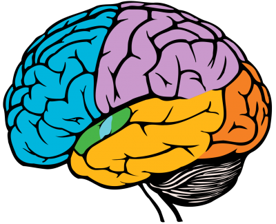 Download BRAIN Free PNG transparent image and clipart.