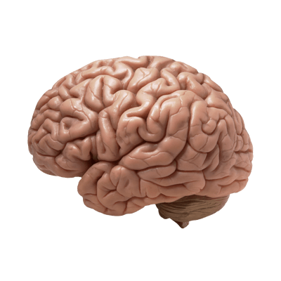 Brain Realistic transparent PNG.