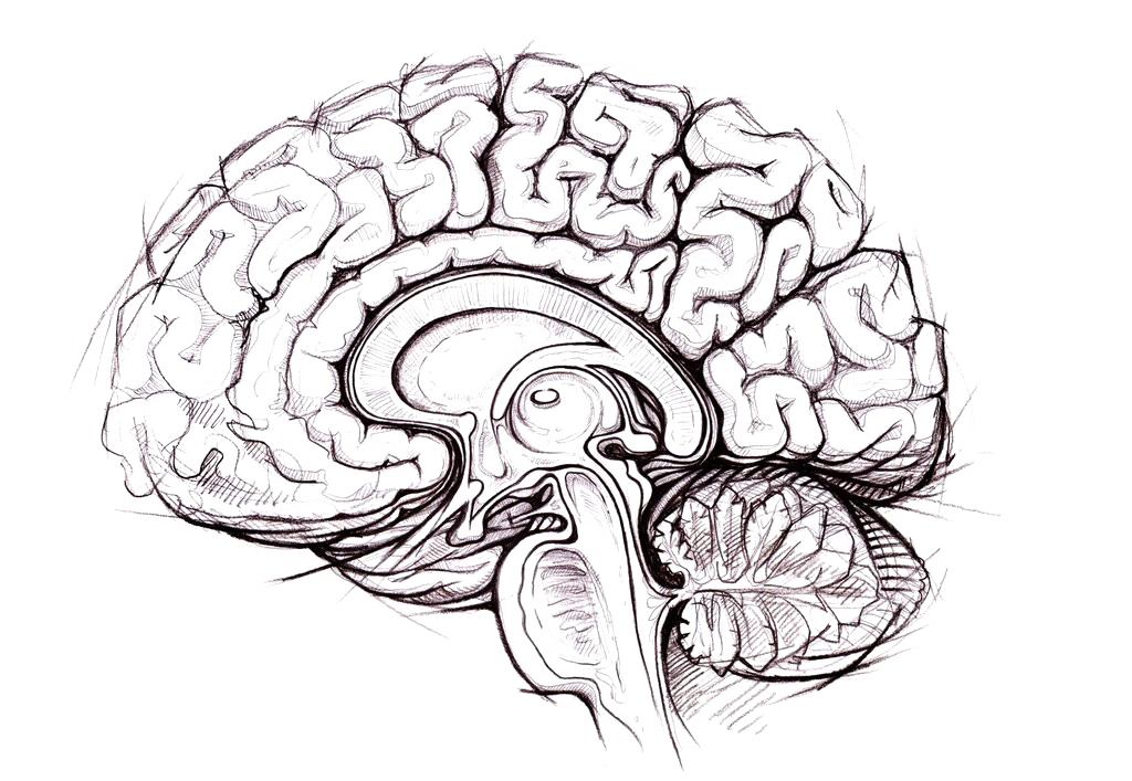 Brain PNG Photo.