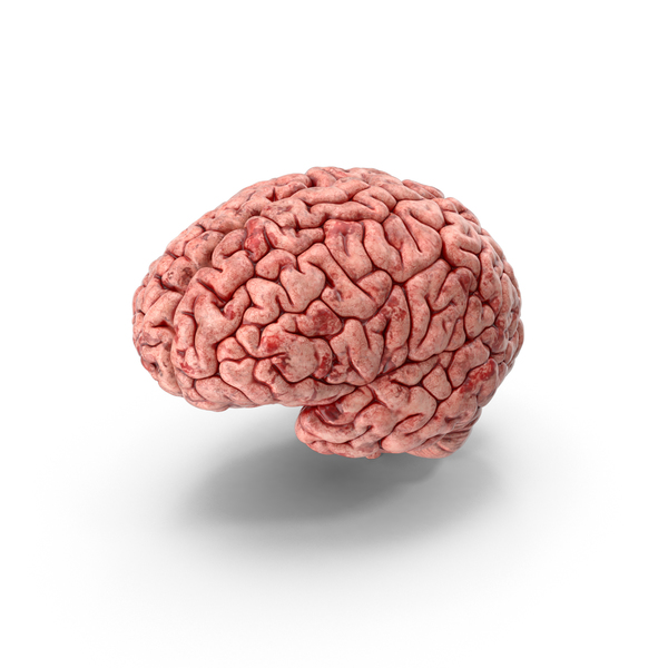 Human Brain PNG Images & PSDs for Download.