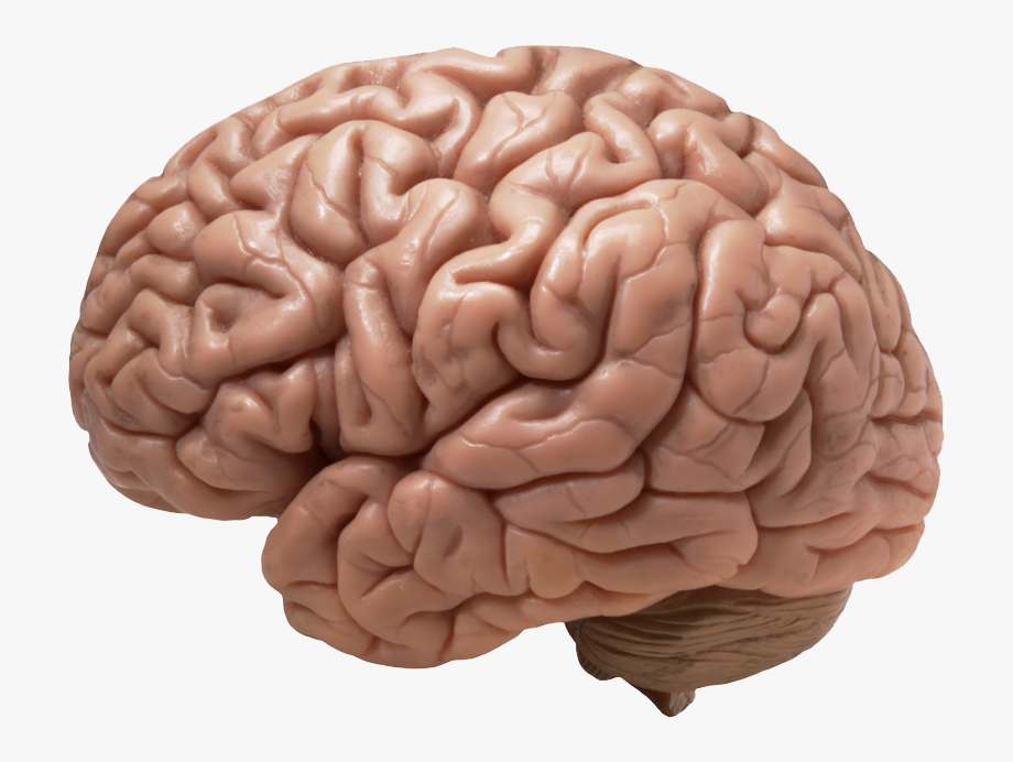 Brain Png Transparent Images.