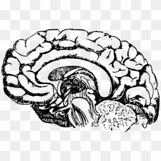 Brain PNG Transparent For Free Download.