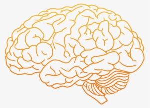 Human Brain Png PNG Images.
