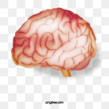 Brain Png, Vector, PSD, and Clipart With Transparent Background for.