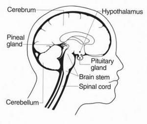 Clipart Picture of a Medical Illustration of a Human Head and Brain.