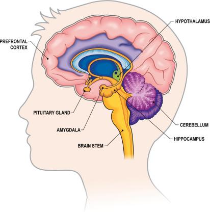 Limbic brain clipart.