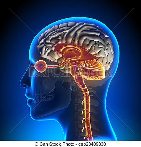 Drawings of Brain Stem / Cerebellum / Optical Nerve / Female Brain.