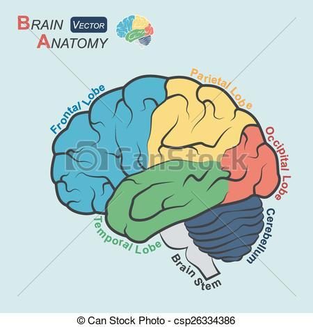 Brain stem Vector Clip Art Royalty Free. 101 Brain stem clipart.