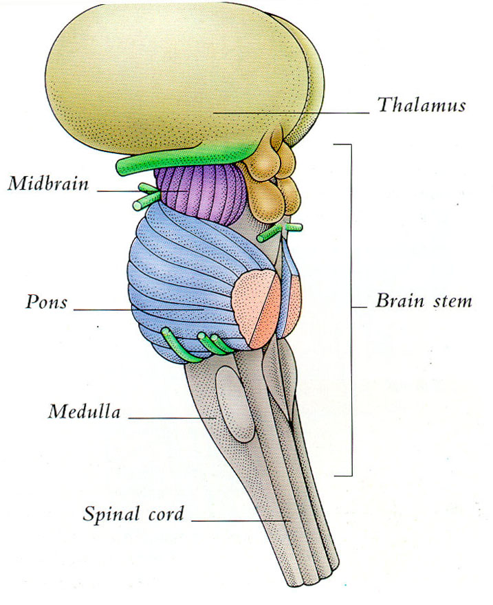 Brain stem clipart.