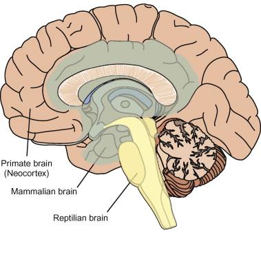 Triune brain.