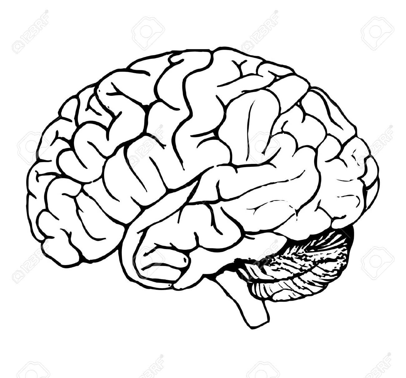 Pictures Of Brains Clipart.
