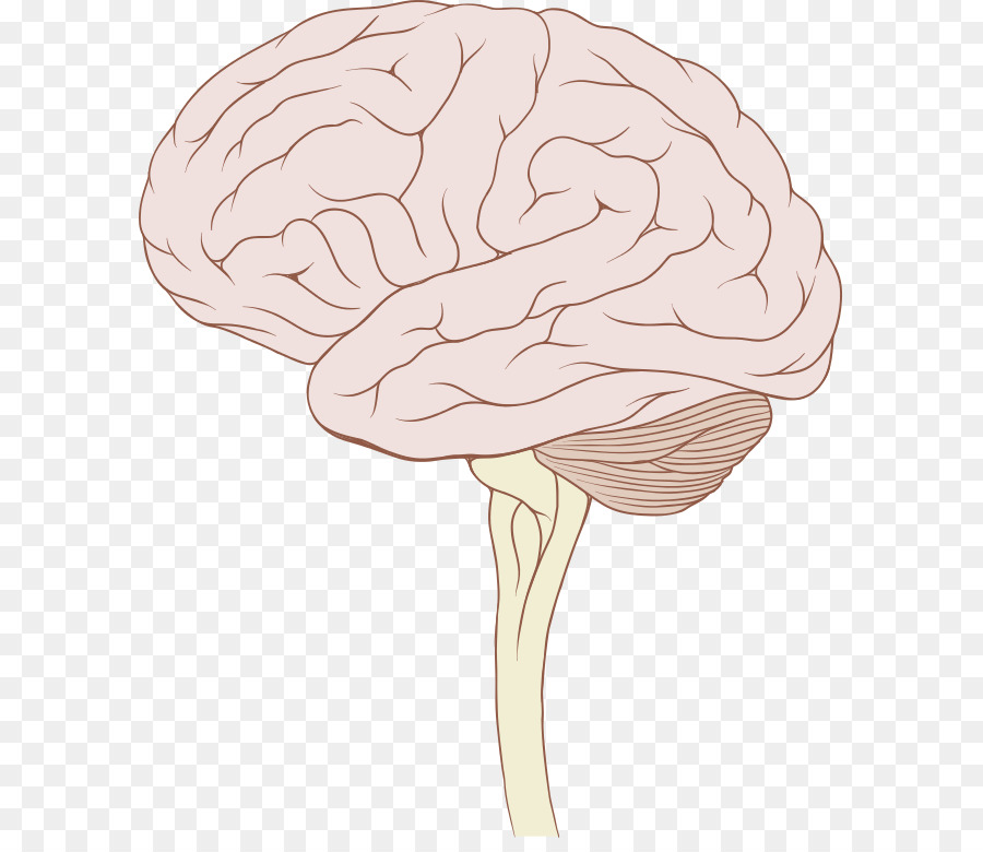 Download brain and brain stem clipart Brainstem.