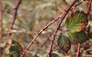 Stock Photography: Brambles Picture. Image: 84992.