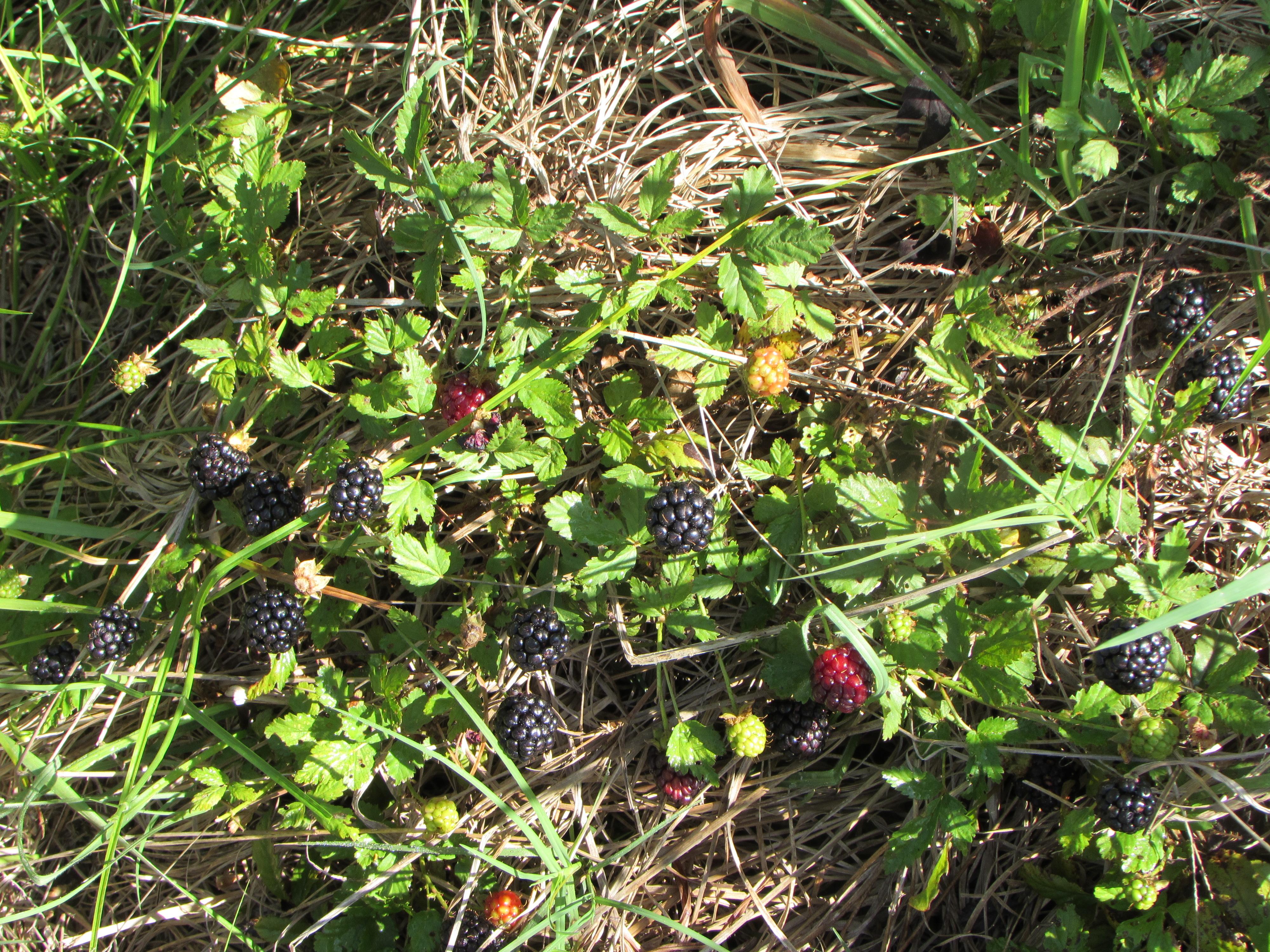 Blackberries: Jewels of Spring.
