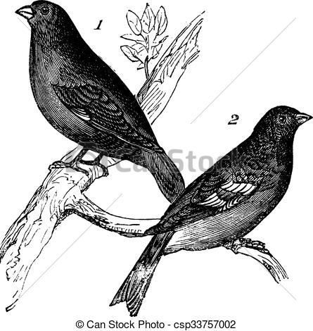 Vector Clipart of Brambling or Fringilla montifringilla and.