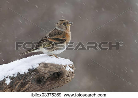 "Stock Photograph of ""Brambling (Fringilla montifringilla) perched."
