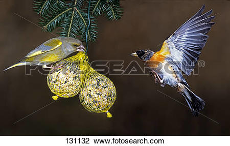 Stock Photo of European greenfinch and brambling at birdseed.