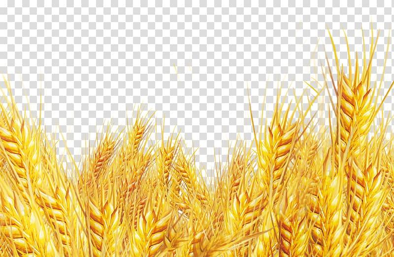Wheat border, Oat bran Emmer Durum, Golden wheat oat wheat.