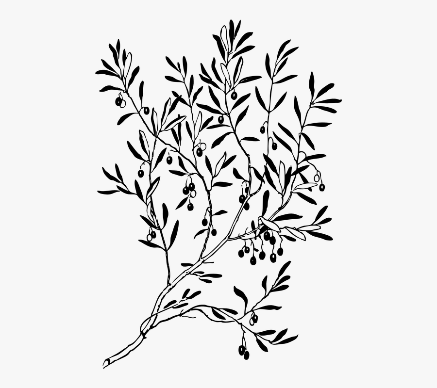 Olive Branch Clipart Black And White , Free Transparent.
