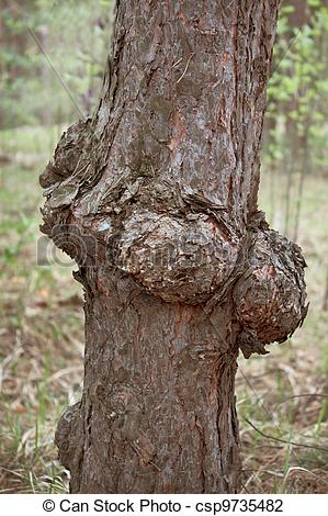 Stock Photo of Outgrowth on the trunk of pine.