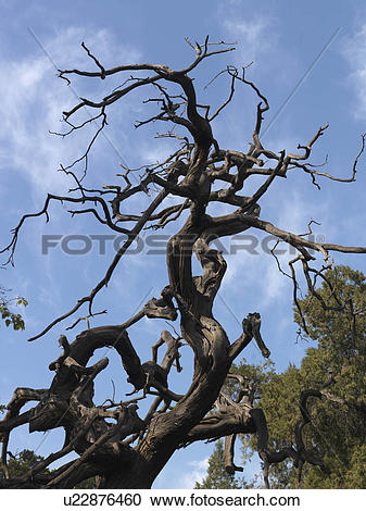 Stock Photography of Dead tree at the Imperial Garden, Forbidden.