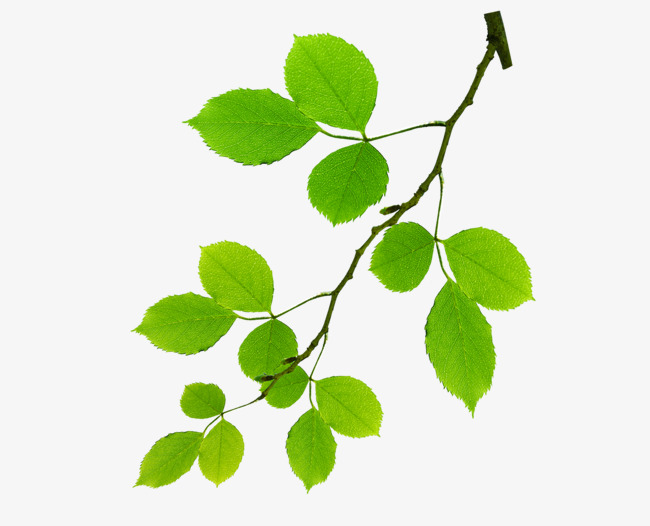 Leafy Branches, Branch, Leaves, Green PNG Transparent Image and.