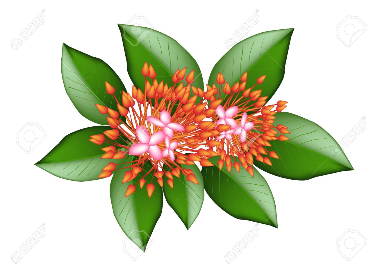 Beautiful Flower, An Illustration Group Of Fresh Red Ixora Flowers.
