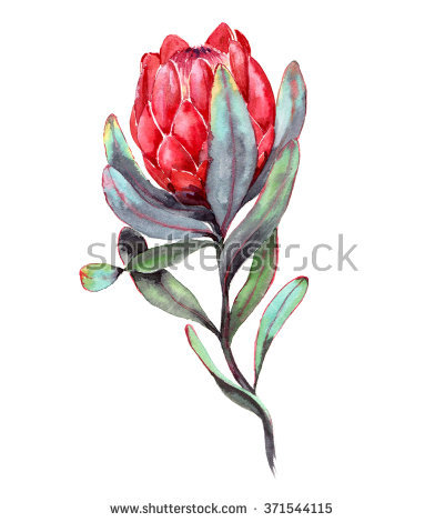 Proteas Stock Photos, Royalty.