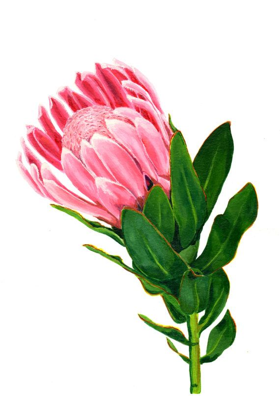 1000+ images about Protea on Pinterest.