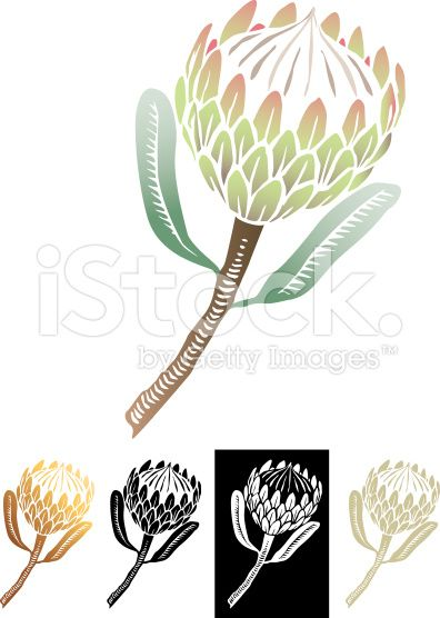 Protea Flower Drawing.
