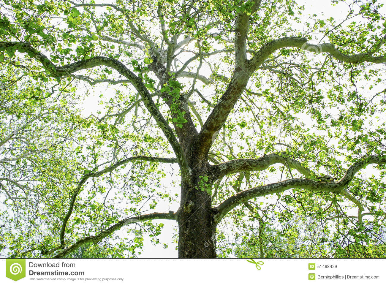 Sycamore Tree Blooming Spring Stock Photo.