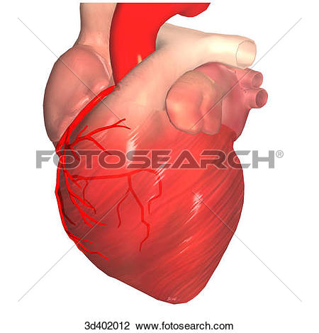 Clip Art of Posterior view of a heart showing branching of the.