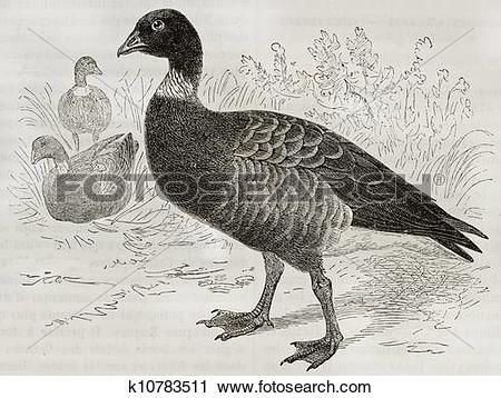 Clipart of Brant Goose k10783511.
