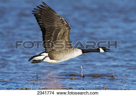 Stock Photo of Canada goose (Branta canadensis canadensis) in.