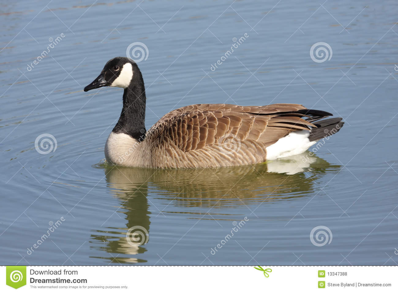 Canada Goose (Branta Canadensis) Swimming Royalty Free Stock.