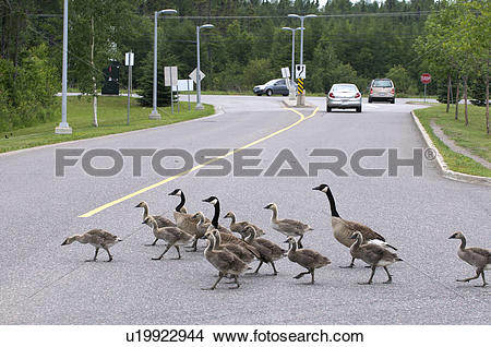 Stock Photo of Canada Goose (Branta canadensis) Adult Parent with.