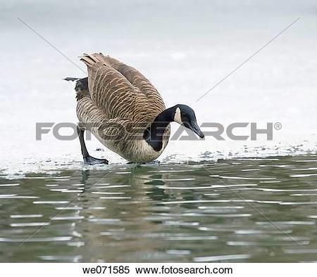 Stock Image of Brand goose ( Branta bernicla ) we071585.