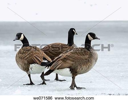 Stock Images of Brand goose ( Branta bernicla ) we071586.