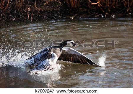 Picture of Barnacle Goose (Branta leucopsis) splashing in the.