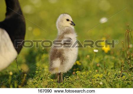 Stock Photography of Barnacle Goose (Branta leucopsis). Gosling on.
