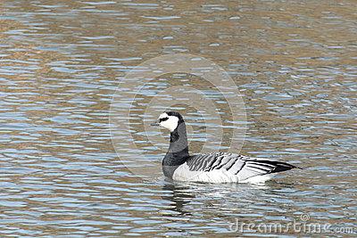 Barnacle Goose Or Branta Leucopsis. Wild Bird On The Water Stock.