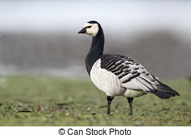 Stock Image of Barnacle Goose, Branta Leucopsis, Feral Goose On.