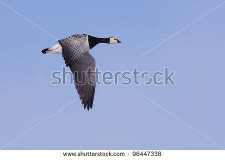 Brent Goose Stock Photos, Royalty.