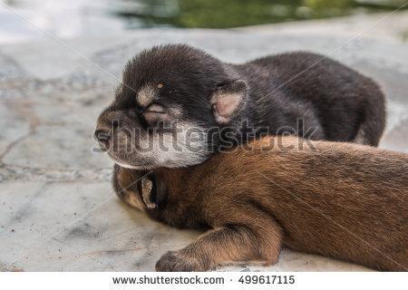 Irish Wolfhound Puppy Sleeping Stock Photo 35665957.