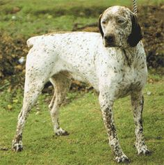 Pointing Dog Blog: Breed of the Week: The Braque du Bourbonnais.
