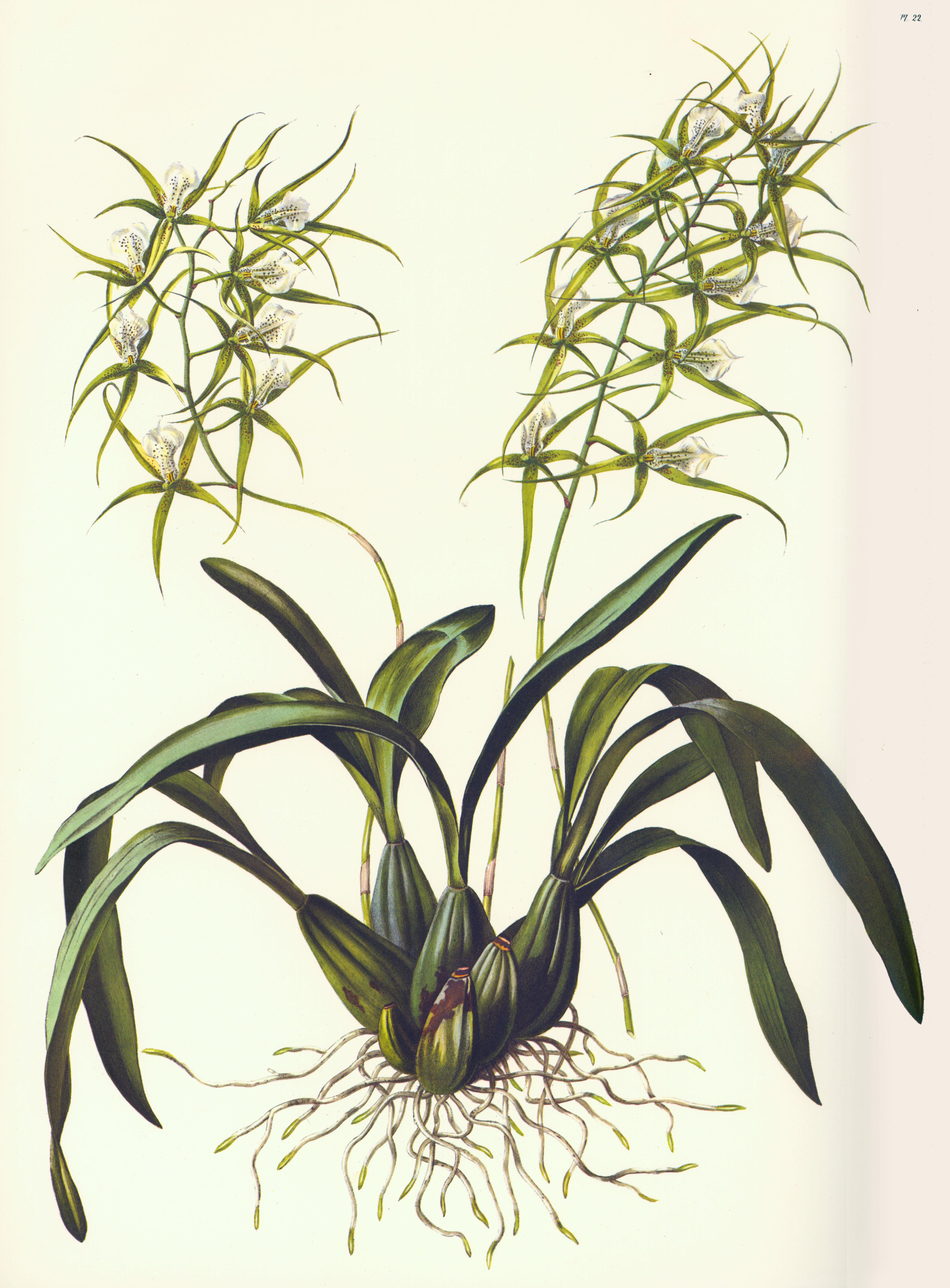 EPIDENDRA .:. Brassia verrucosa.