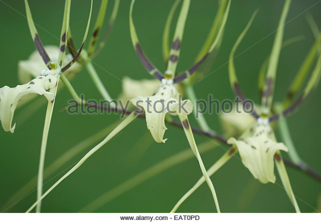 Brassia Stock Photos & Brassia Stock Images.
